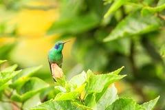 Violet-oreille verte se reposant sur la fleur, colibri de forêt tropicale, Pérou, oiseau étant perché, oiseau minuscule se reposa photo stock
