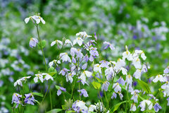 Violet Orychophragmus flowers Stock Image