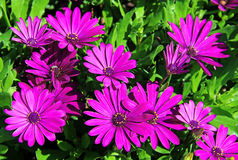Violet osteospermum Royalty Free Stock Photo