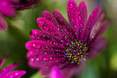 Violet Osteospermum ecklonis marco with drops Royalty Free Stock Images