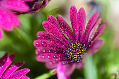 Violet Osteospermum ecklonis marco with drops Royalty Free Stock Image