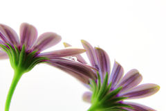 Violet Osteospermum with water droplets Stock Photography