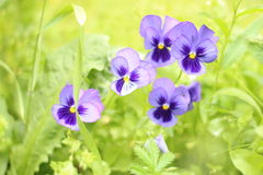 Violet_pancies royalty free stock photography