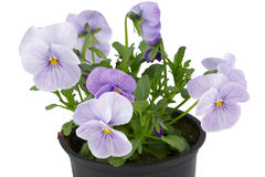 Violet pansies in flower pot Royalty Free Stock Image