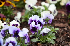 Violet pansies in the garden as background Royalty Free Stock Photo