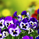 Violet pansies in garden with blurred background Stock Image