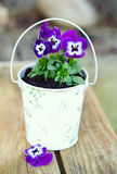 Violet pansies in a pot on a wooden surface Stock Images