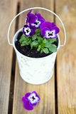 Violet pansies in a romantic bucket Stock Image