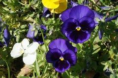 Violet pansies Royalty Free Stock Photos
