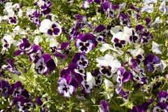 Violet pansies (viola tricolor) Stock Photo