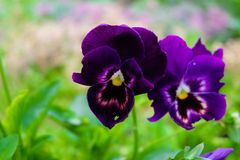 Violet pansies stock photos