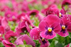 Violet pansy Stock Images