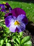 Violet pansy Royalty Free Stock Image