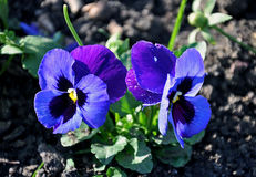 Violet pansy Stock Photos