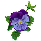 Violet pansy flower. With leaves and bud Stock Photography