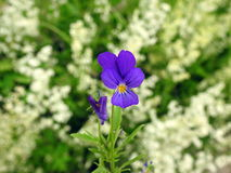 Violet  pansy flower in meadow Stock Images