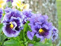 Violet Pansy Flowers Fotografering för Bildbyråer