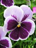 Violet Pansy Flowers Imágenes de archivo libres de regalías