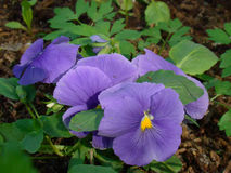 Violet Pansy Flowers Stockfoto