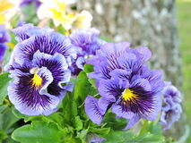 Violet pansy flowers Stock Image