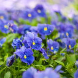 Violet pansy flowers Stock Photography