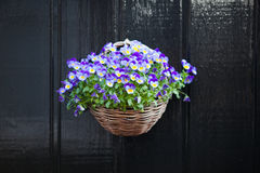 Violet pansy flowers in the pot Royalty Free Stock Photos