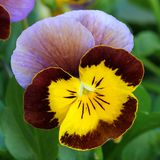 Violet - Pansy Royalty Free Stock Photo