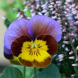 Violet - Pansy Royalty Free Stock Photos