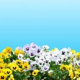 Violet Pansy no céu azul imagens de stock