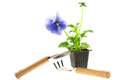 Violet pansy's sprout in plastic box and gardening tools Stock Images