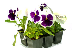 Violet pansy's sprouts in plastic boxes Royalty Free Stock Photos