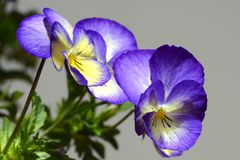 Violet pansy. Violed and wellow pansy with background royalty free stock photo