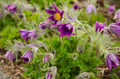 Violet Pasque flowers Royalty Free Stock Image