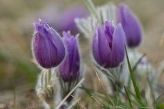 Violet Pasqueflower Foto de Stock Royalty Free