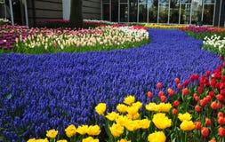 Violet Path in Keukenhof-tuin de tuinen van de wereld` s grootste die bloem, in Lisse, Nederland worden gesitueerd royalty-vrije stock afbeelding