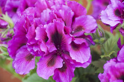 Violet Pelargonium Imágenes de archivo libres de regalías