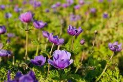 Violet peonies Royalty Free Stock Photo