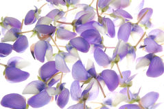 Violet petals on white Stock Photography