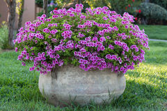 Violet Petunia: Beautiful Flowering Plant. Inside White Flowerpot Royalty Free Stock Image