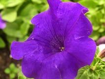 Violet petunia closeup Royalty Free Stock Photos
