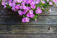 Violet Petunia flower Stock Photo
