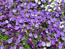 Violet petunia flowers pattern Royalty Free Stock Image