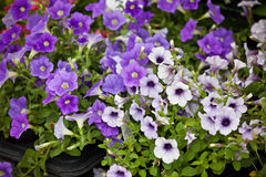 Violet Petunia Flowers seedlings Royalty Free Stock Photo