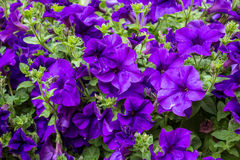 Violet petunia. In the garden Royalty Free Stock Images