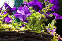 Violet petunia in hanging basket. Violet petunias in hanging basket in the home garden royalty free stock photo