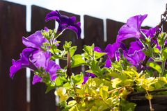 Violet petunia in hanging basket. Violet petunias in hanging basket in the home garden stock photo