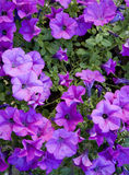 Violet petunias Stock Photos