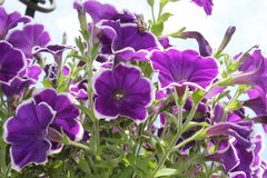 Violet Petunias Blast. Beautiful violet petunias. Violet, white petunias in a white background. Pale green stems Stock Images