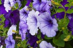 Violet petunias Stock Photos