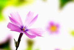 Violet phlox bloom. On blured color background Royalty Free Stock Images